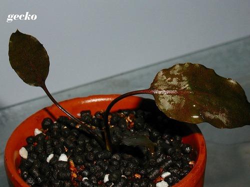 C.× purpurea nothovar.  borneoensis