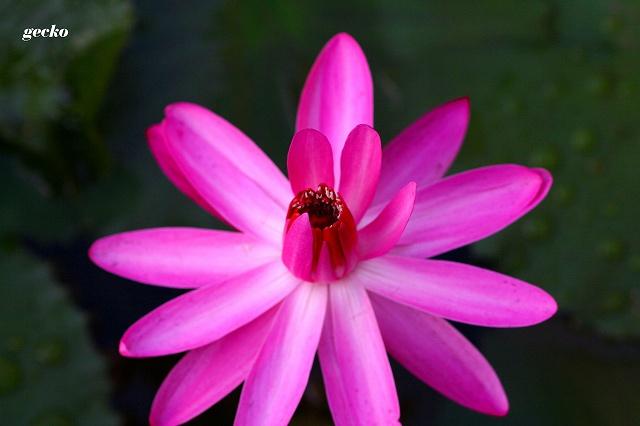SPピンク(熱帯夜咲きスイレン)